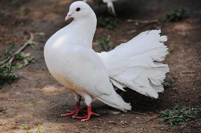 羽装类观赏鸽