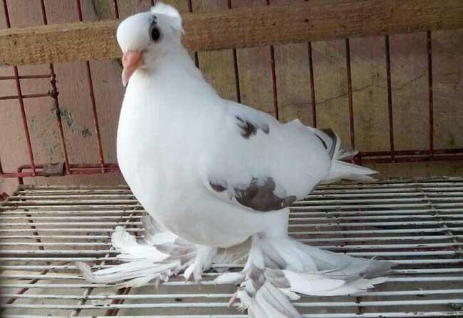 表演类观赏鸽