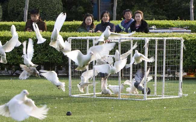 点缀类观赏鸽