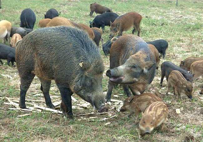 特种公野猪不发情怎么办?