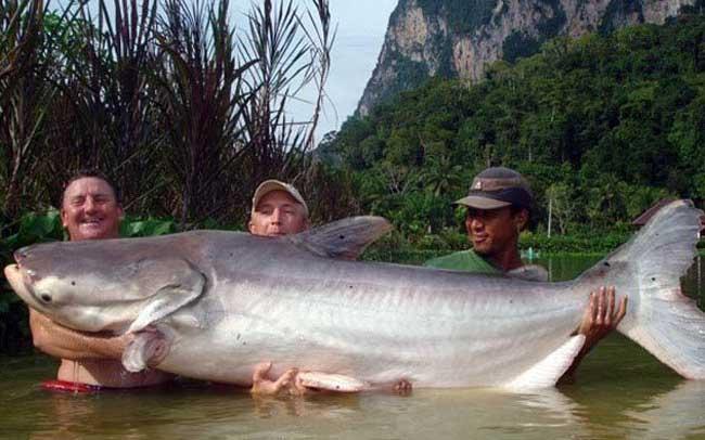 湄公河巨鲶极度濒危