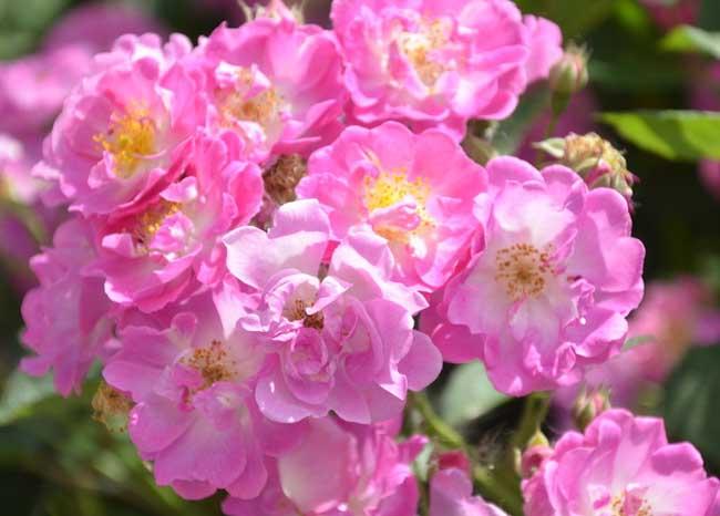 蔷薇花语是什么?
