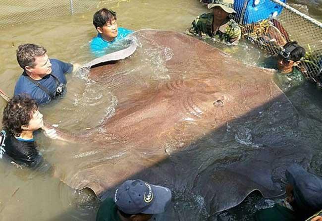 泰国捕获世界最大淡水鱼