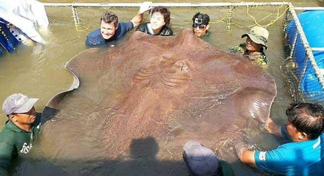 世界最大的淡水鱼