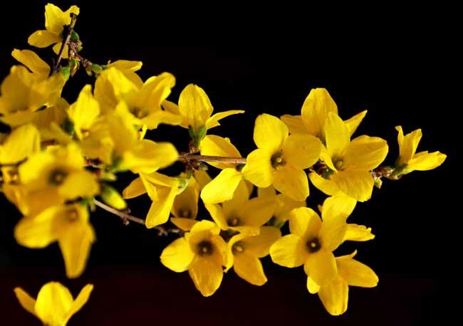连翘和迎春花的区别有哪些?