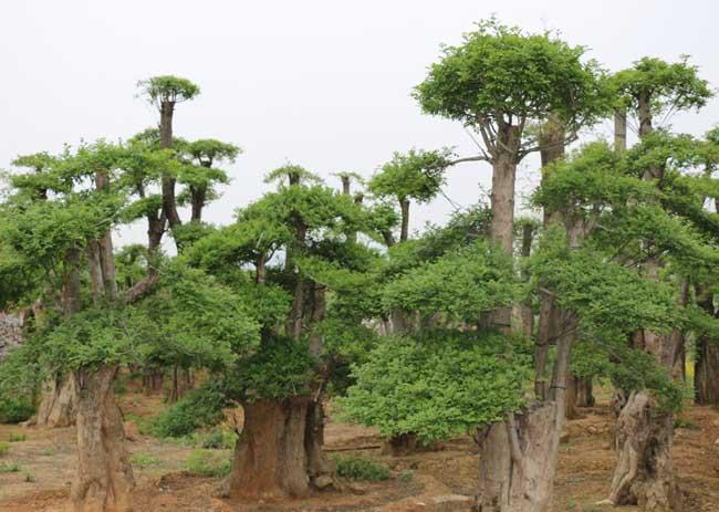 对节白蜡树