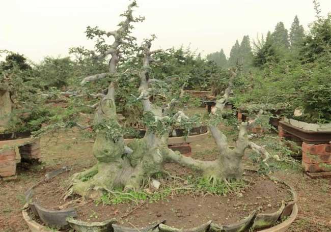 白蜡树盆景