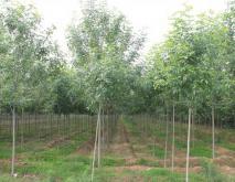 速生白蜡树