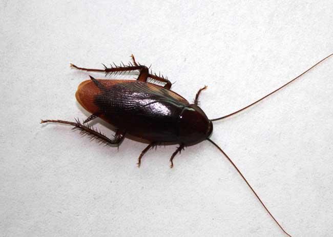 蟑螂咬人后有毒吗?