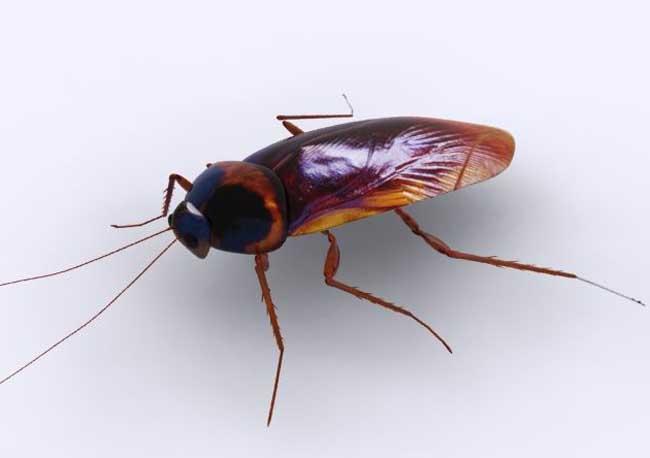 蟑螂怕什么天敌