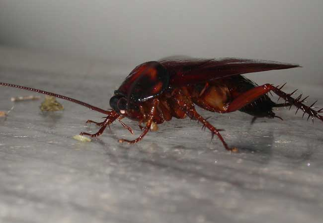 蟑螂会飞吗?