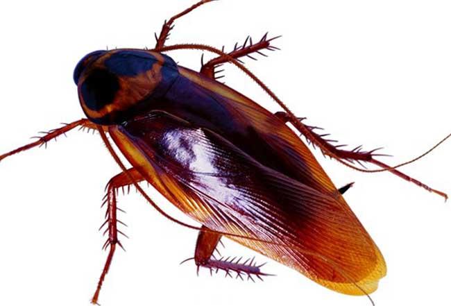 蟑螂会飞吗