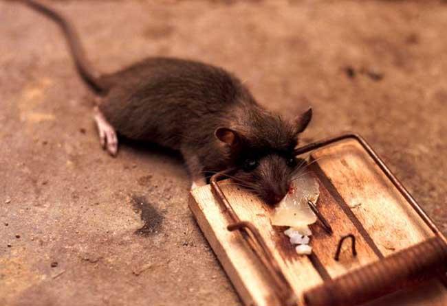 家里有老鼠怎么办?