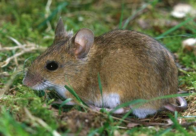 老鼠怕什么天敌?