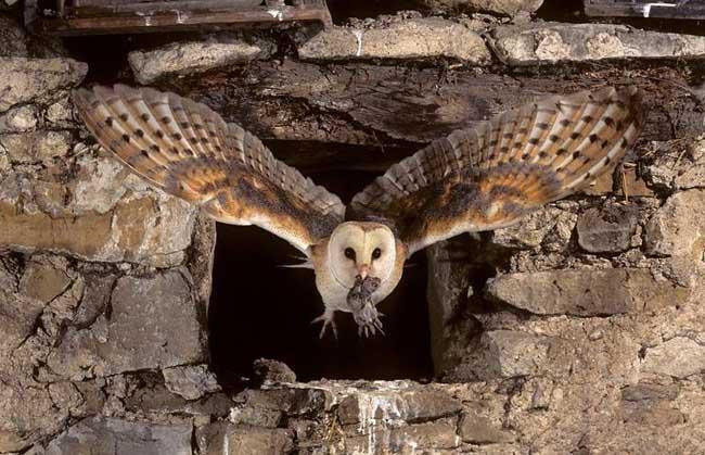 猫头鹰捕食老鼠