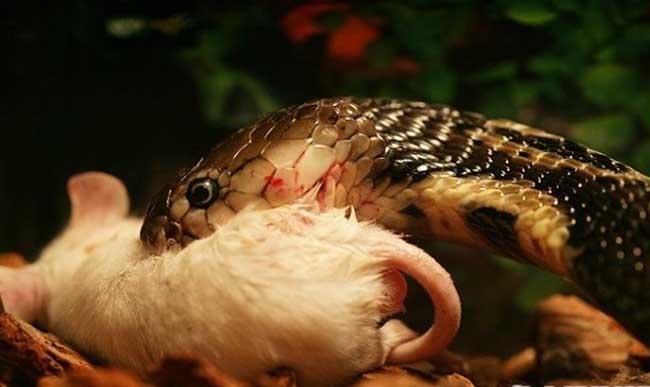 蛇捕食老鼠