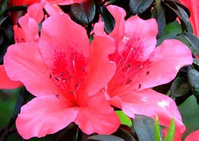 杜鹃花有毒吗?