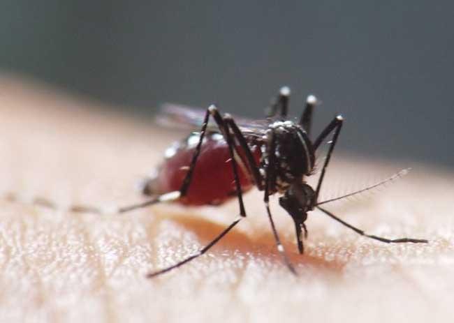 蚊子的危害
