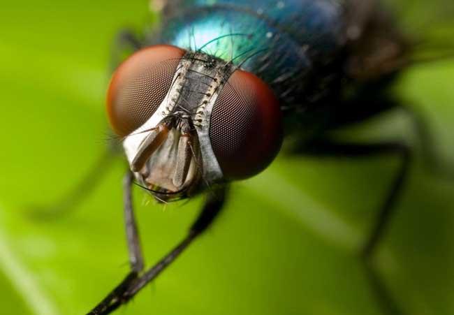 苍蝇的寿命有多长?