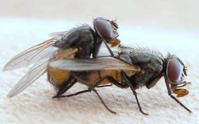 苍蝇的寿命有多长