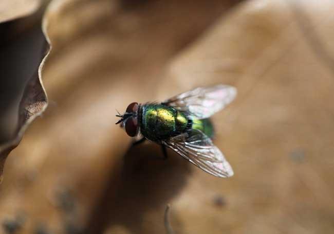 苍蝇怕什么天敌?