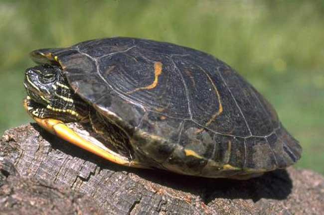 乌龟冬眠怎么养才好?