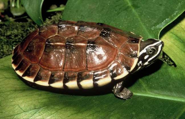 马来食螺龟