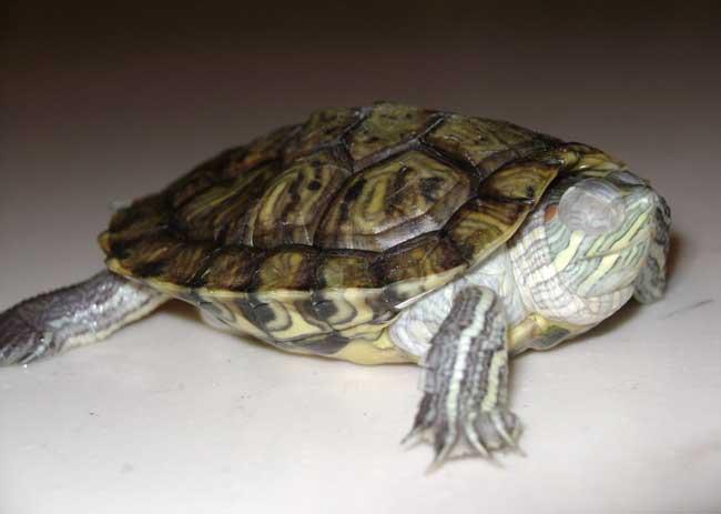 乌龟白眼病防治方法