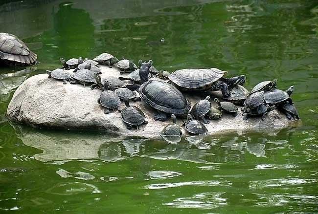 巴西龟怎么养最好?