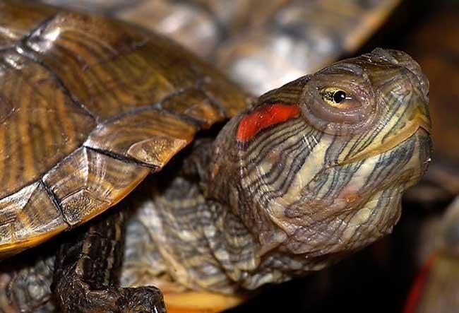 巴西龟吃什么食物?