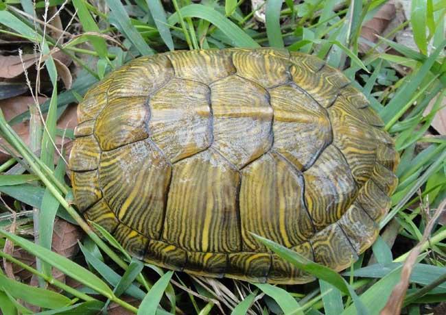 巴西龟的危害有哪些?