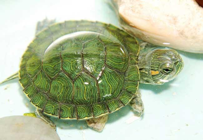 小乌龟怎么养最好?