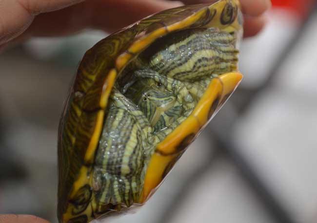 巴西龟冬眠要怎么养?