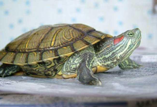巴西龟可以干养吗?
