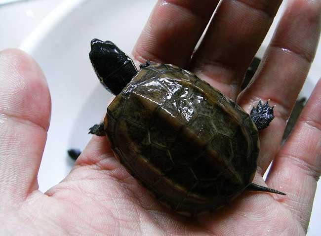 中华草龟怎么养?