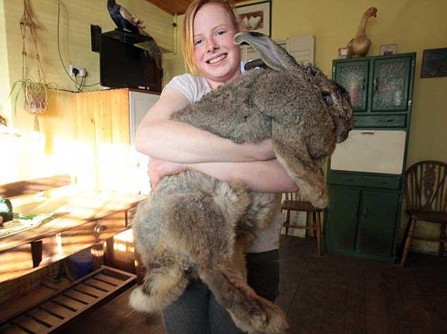 世界最大兔子大流士体长1.22米重45斤