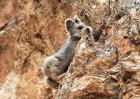 伊犁鼠兔现身中国稀有度超过大熊猫
