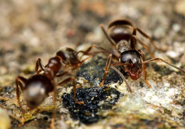 蚂蚁怕什么天敌