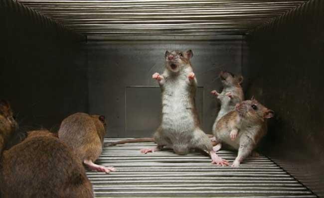 最大的老鼠