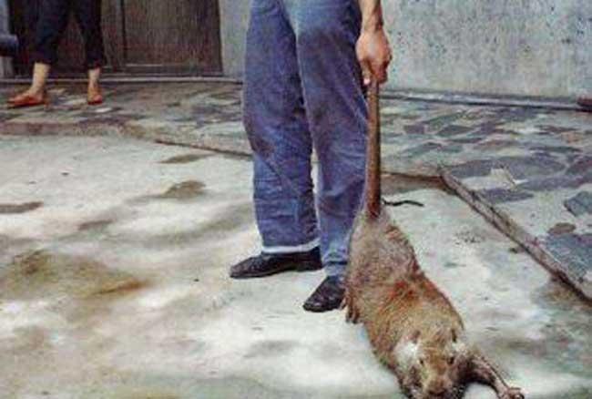 世界上最大的老鼠吃猫图片