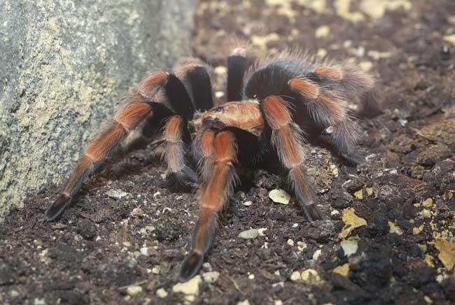 世界上最大的蜘蛛