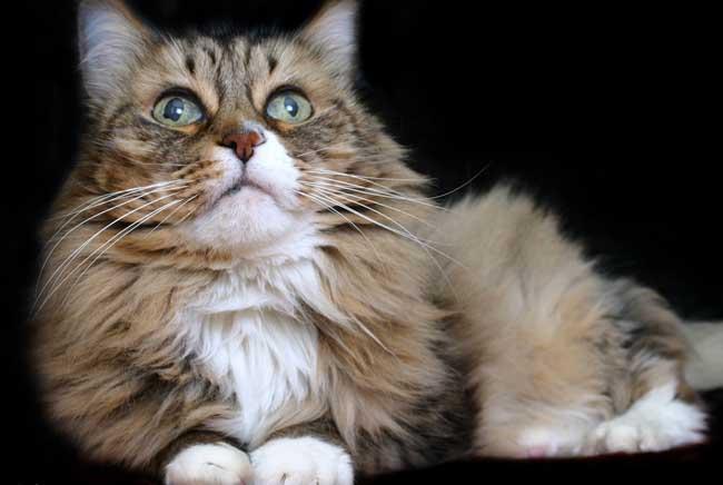 世界上最大的猫比狗大重达9.5公斤