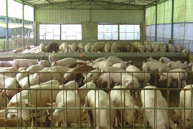 发酵床养猪技术视频