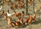 常见的土鸡品种有哪些?