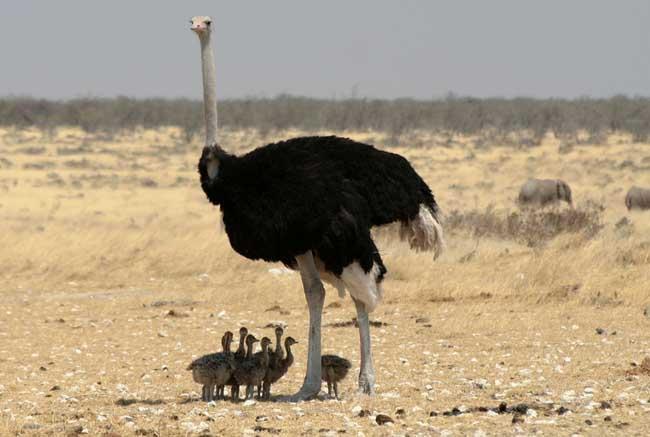 世界上最大的鸟高2.5米重155千克