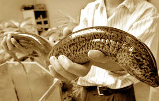 世界最大的鳝鱼_世界上最大的黄鳝长1.5米重36斤