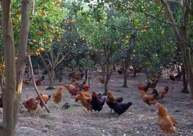 生态养殖鸡