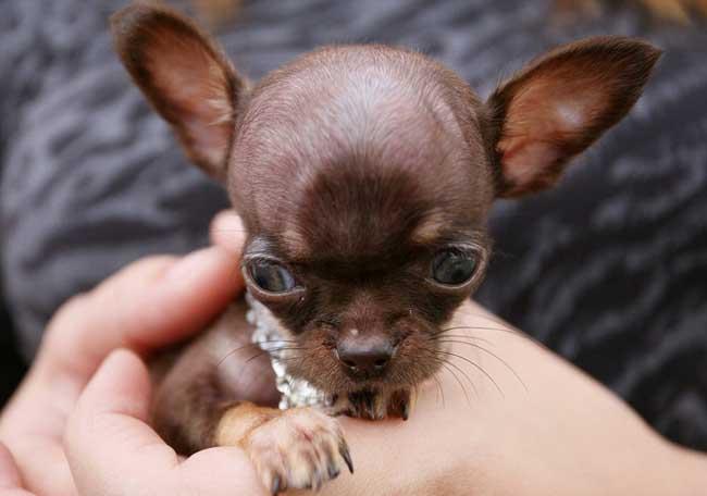 世界上最小的狗身长9.65厘米重170克