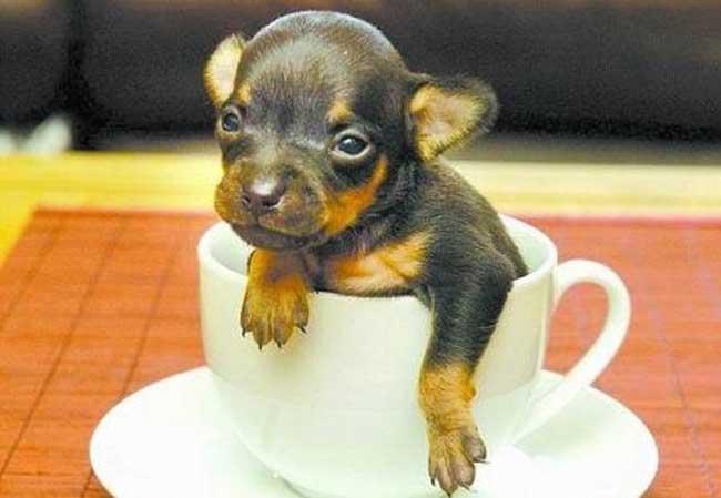 世界上最小的狗