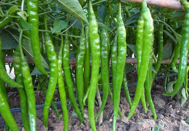 辣椒种子怎么种?